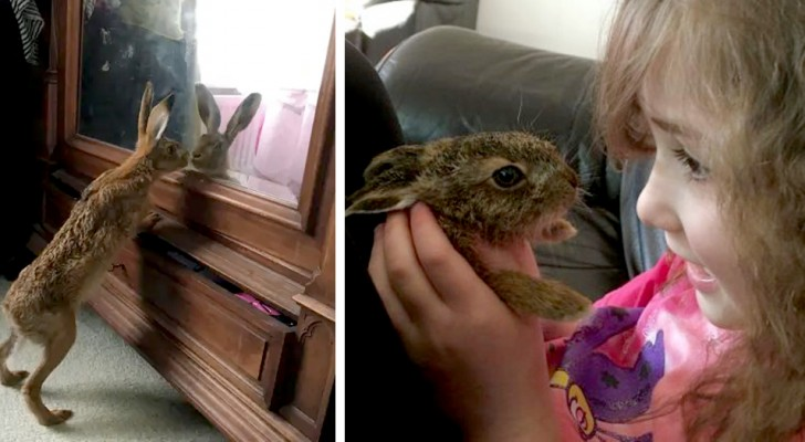 En hare besöker varje dag den familj som räddat den och matat den under åtta veckor