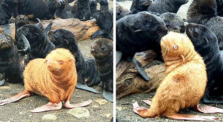 Nasce una rara foca dal pelo dorato e gli occhi azzurri: rischia di non essere accettata dalla sua colonia