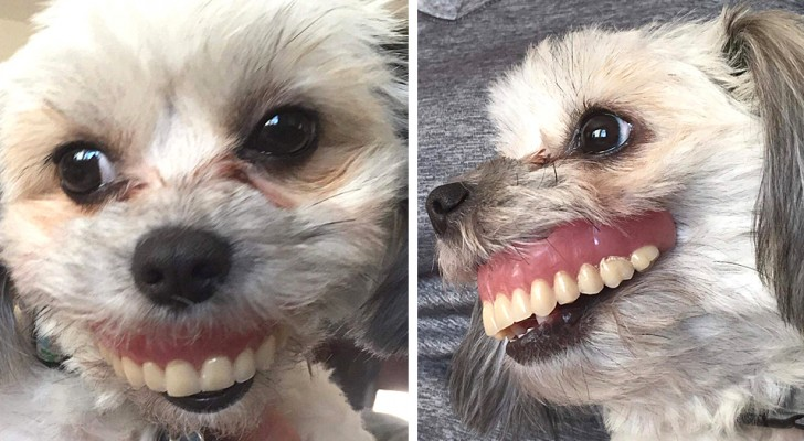 """Ein Mann verliert sein Gebiss und entdeckt, dass seine Hündin es gestohlen hat und ein erheiterndes """"Lächeln"""" zur Schau stellt"""