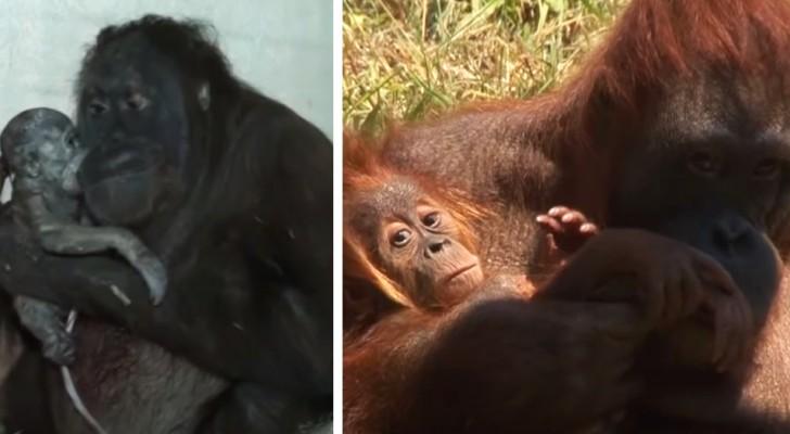 Uma mãe orangotango dá à luz e mostra com orgulho seu filhote aos pesquisadores que acreditavam que ela fosse estéril