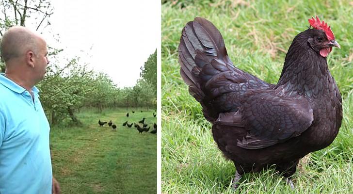 Ein Landwirt ersetzt Pestizide durch Hühner aus Janzé: Die Vögel retten die Ernte
