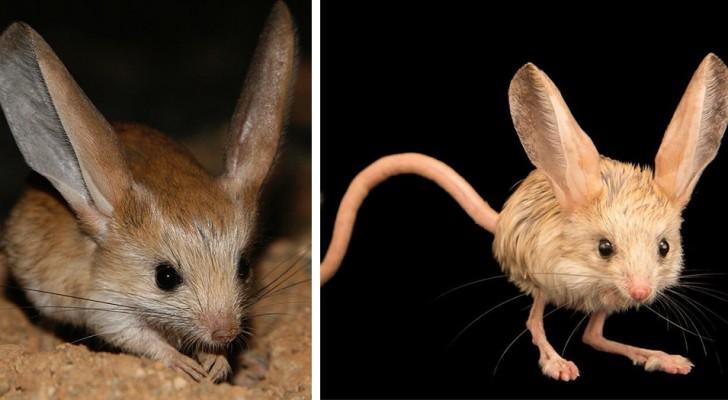 Questo simpatico roditore del deserto sembra un mix tra un topolino, un canguro e un coniglio