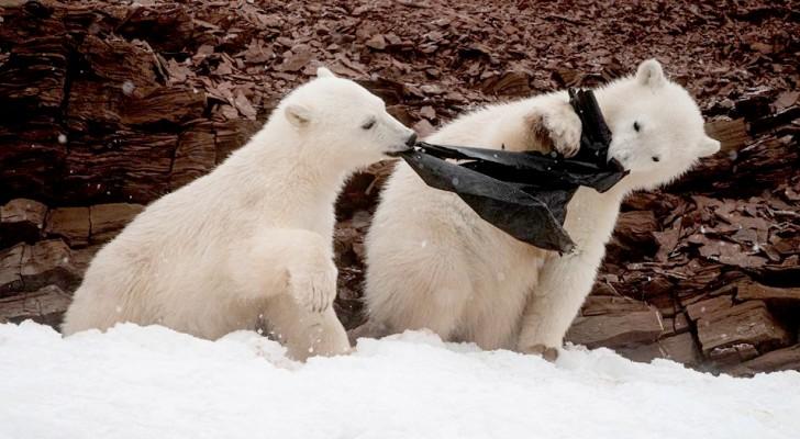 Due orsi polari giocano masticando una busta di plastica: un'immagine straziante sulle derive dell'inquinamento