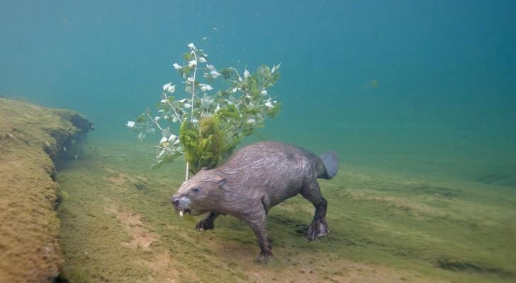 Un fotografo si è immerso ogni notte per 4 anni per immortalare un castoro europeo sotto il pelo dell'acqua