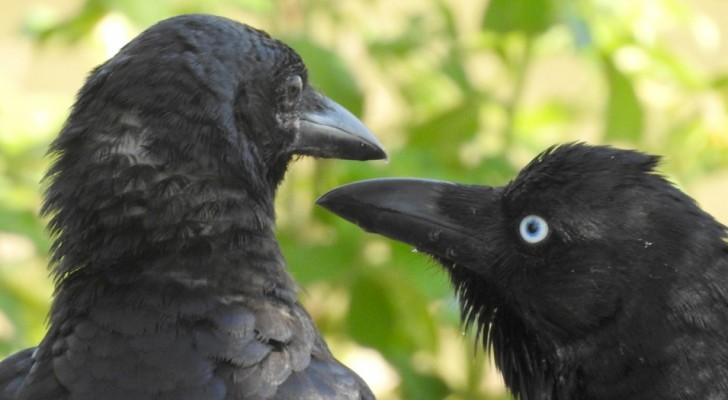 I corvi possono vivere esperienze soggettive e sviluppare una coscienza sensoriale: lo suggerisce uno studio
