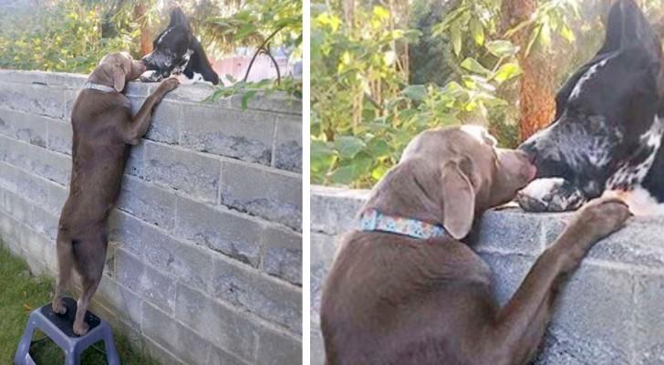"""Sie schenken dem Hund einen Hocker, damit er seine Freunde auf der anderen Seite der Mauer """"grüßen"""" kann"""