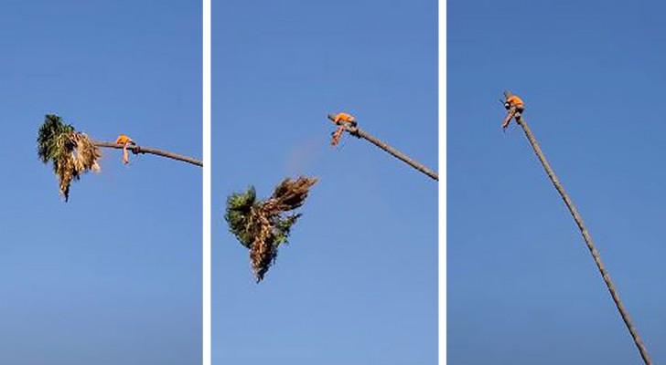 Er wollte die Krone einer Palme zuschneiden, und der Stamm katapultiert ihn zurück: Dieses Video erzeugt Gänsehaut