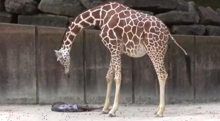 Det är inte varje dag man får skåda en giraff föda