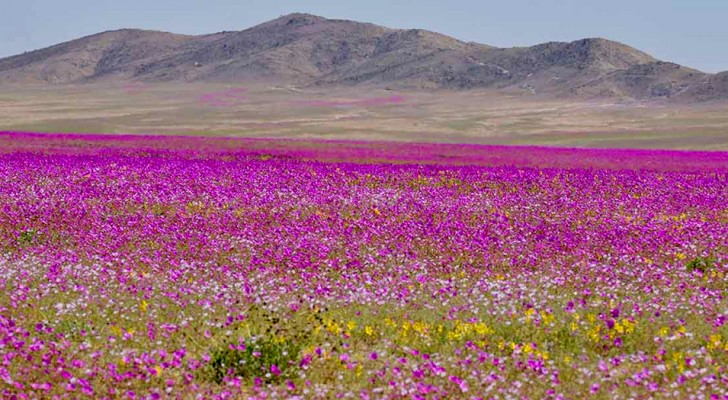 Eine der trockensten Wüsten der Welt färbt sich nach drei Jahren mit über 200 Blumenarten wieder farbig