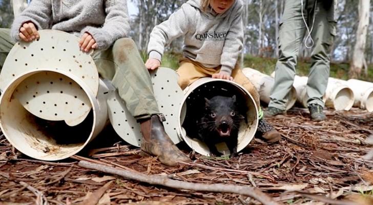 26 diavoli della Tasmania sono stati liberati in Australia: è la prima volta da almeno 3000 anni nel continente
