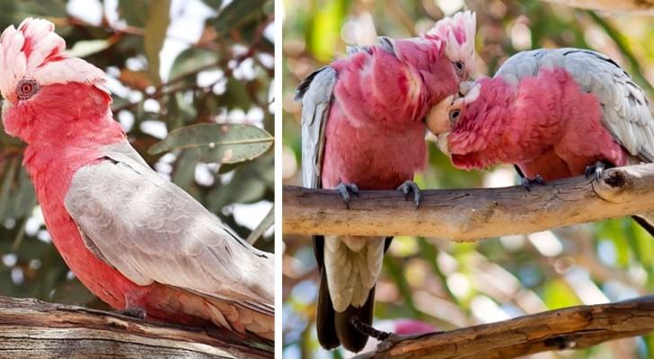 Il Cacatua Rosa è uno dei pappagalli più simpatici e intelligenti, anche se il suo nome significa