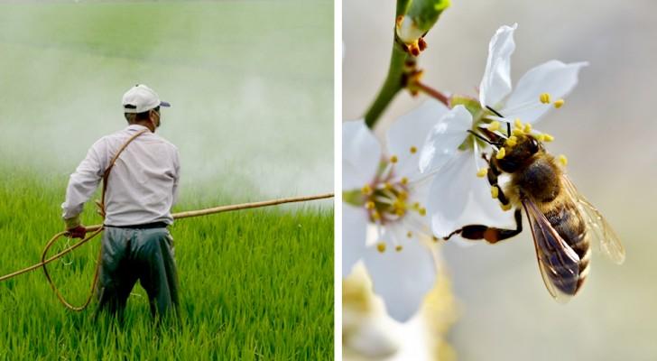 Francia: reintrodotti i pesticidi neo-nicotinoidi per la coltivazione di barbabietole, molto nocivi per le api