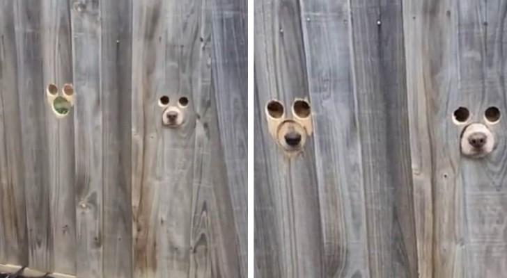 De eigenaresse maakte gaten in het hek zodat haar twee honden voorbijgangers kunnen bekijken