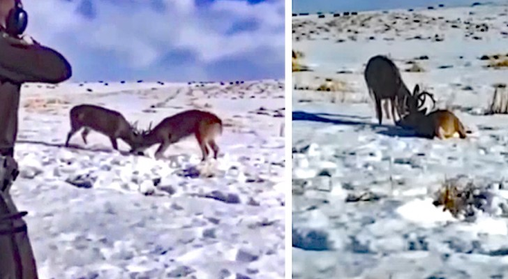 Due cervi restano incastrati, destinati a morte certa: un uomo li salva con un colpo solo