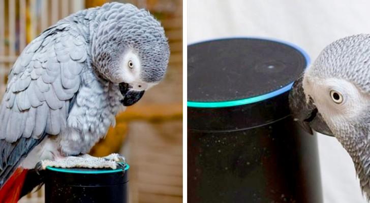 En papegoja som klarar att imitera sin ägares röst perfekt och beställer favoritmaten genom Alexa
