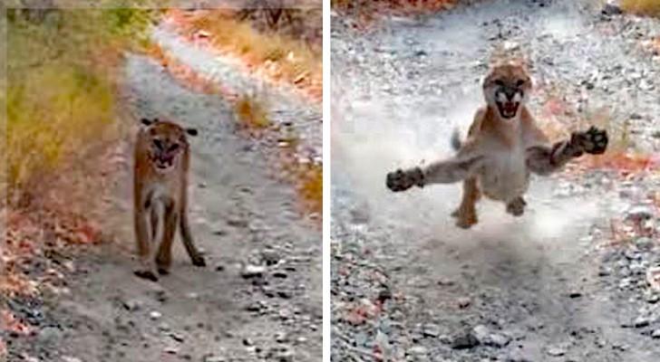 Ein junger Mann wird 6 lange Minuten von einem Puma gejagt: Das Video ist gruselig