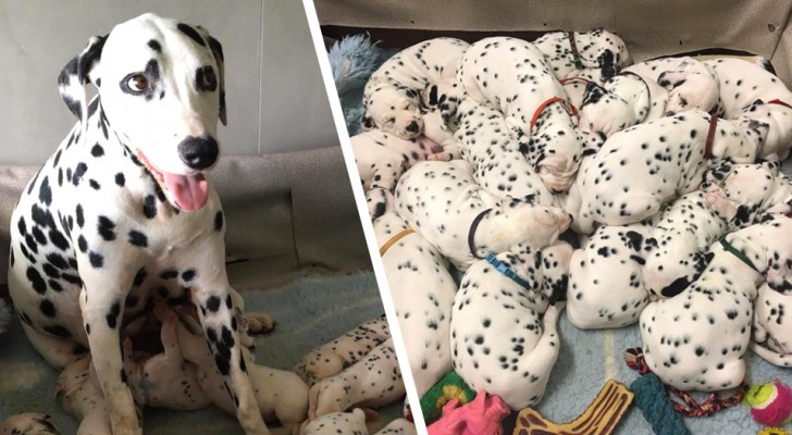 Cette dalmatienne a donné naissance à 18 chiots : les photos rappellent Les 101 Dalmatiens