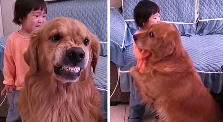 A mother scolds her 2-year-old daughter: the dog defends the child as if she were her bodyguard