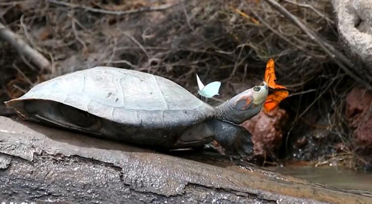 Schöne Bilder von Schmetterlingen, die Schildkrötentränen trinken: Der Fotograf erklärt, warum sie das tun