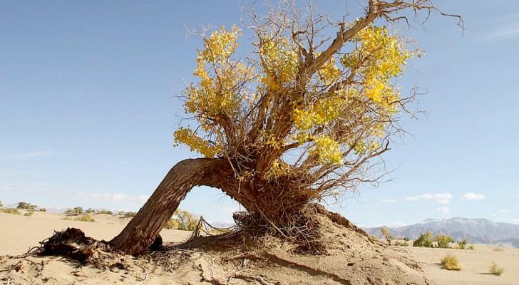 In de Sahara groeien meer bomen dan verwacht: een mogelijk wapen tegen klimaatverandering