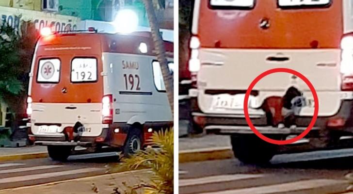 Um cachorro pula no para-choque da ambulância onde estava o seu dono: não queria deixá-lo nem por um minuto