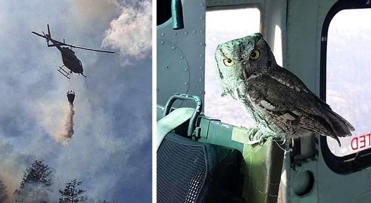 Ce hibou a volé à l'intérieur d'un hélicoptère et s'est tenu à côté du pilote qui éteignait un incendie