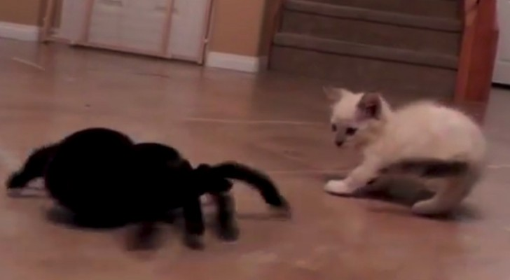 A kitten Vs a spider: Don't miss this hilarious battle !!