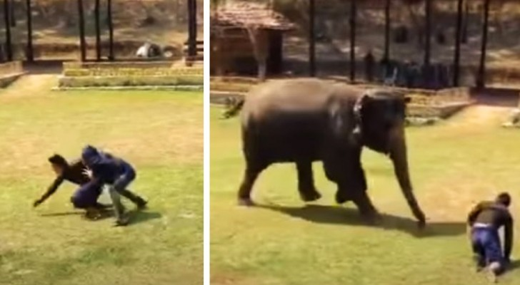 Um elefante corre para ajudar o zelador que cuida dela todos os dias quando o vê em apuros