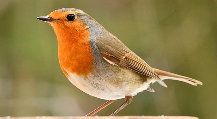 La strage silenziosa dei pettirossi: gli uccellini dal petto colorato sono sempre più minacciati dal bracconaggio