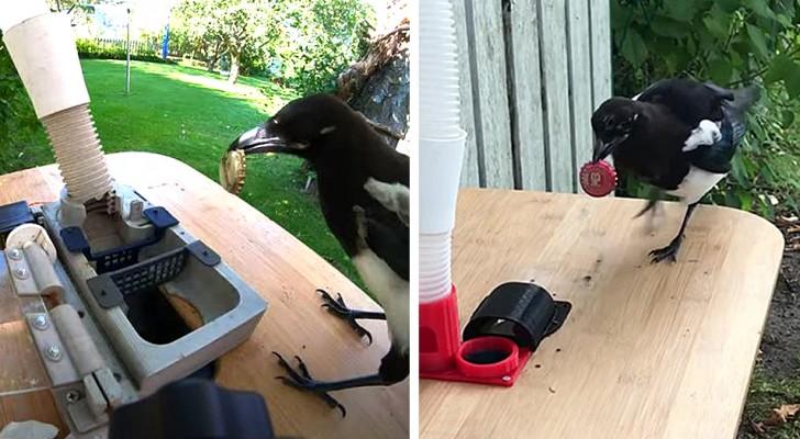 Un uomo crea una macchina che dà cibo alle gazze in cambio di rifiuti: addestra gli uccelli a riciclare