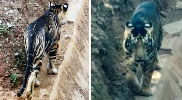 Un fotografo amatoriale incontra una rarissima tigre nera: ne esistono solo 6 al mondo