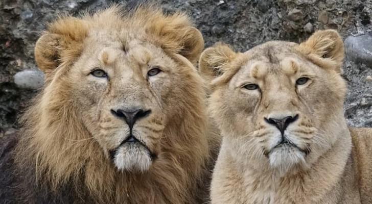 Een leeuwin in een dierentuin begon manen te ontwikkelen zoals de mannetjes - op 18-jarige leeftijd