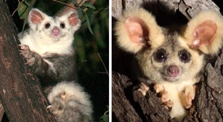 Scoperte in Australia due nuove specie di marsupiali: un'ottima notizia per la biodiversità