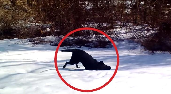 Morirete dalle risate vedendo cosa fa questo cane sulla neve. Esilarante!