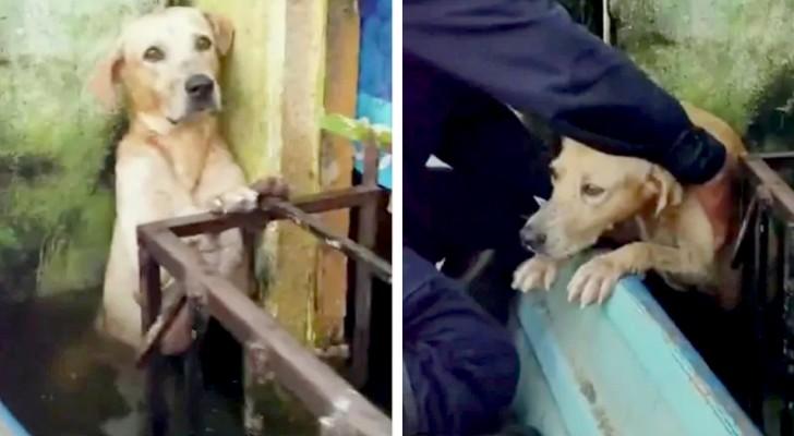 Um cão se salva de uma enchente violenta se segurando em uma grade: o momento do resgate é emocionante