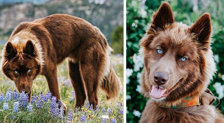 Er sieht aus wie ein Wolf, ist es aber nicht: Dieser seltene schokoladenfarbene Husky ist eine echte Berühmtheit