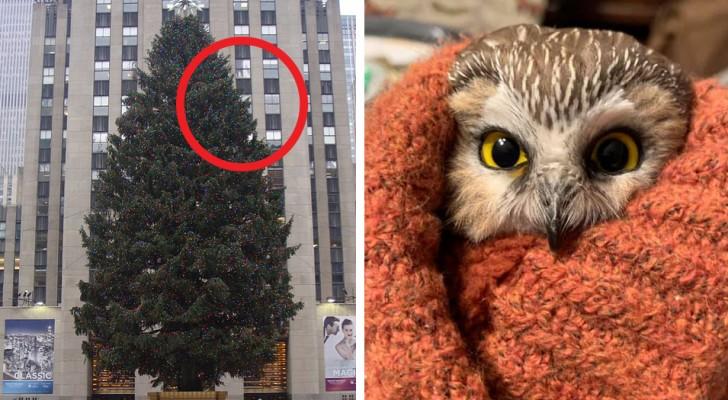 De hittar en uggla i Rockerfeller Centers julgran som rest hela 270 km på bara 2 dagar