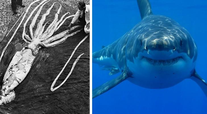 Les cicatrices de certains grands requins blancs prouveraient qu'ils sont attaqués par des calamars géants, selon les spécialistes
