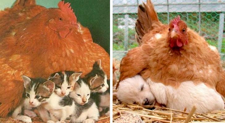 12 galinhas que aqueceram filhotes de diferentes espécies com seu instinto maternal