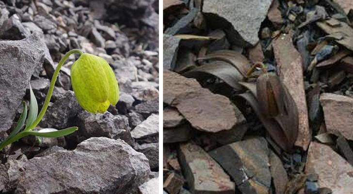 Questa pianta da fiore si è evoluta per mimetizzarsi agli occhi degli esseri umani: la scoperta