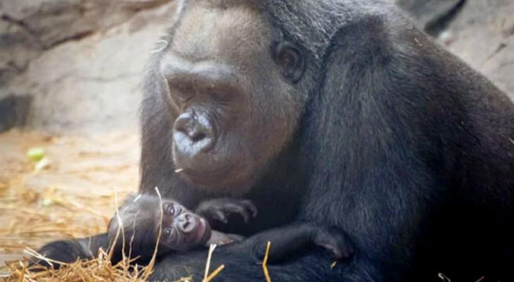 En 39-årig gorilla föder en jättegullig unge på nästan tre kilo och det blir fest på zoot