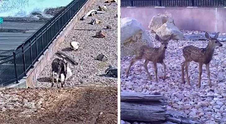 Questo speciale ponte costruito per gli animali selvatici sta funzionando a meraviglia: i video confermano