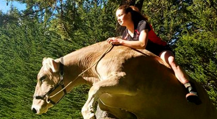 Seus pais não compram um cavalo para ela: decide ensinar uma vaca a saltar os obstáculos
