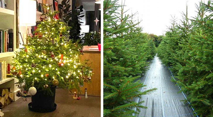 Alberi di Natale a noleggio: la soluzione sostenibile per avere una pianta vera senza danneggiare l'ambiente