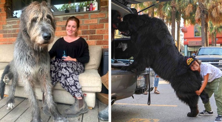 18 fun photos of dogs that don't realize how huge they are