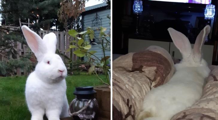 Deze vrouw heeft een gigantisch konijn: hij weegt ongeveer 10 kg en heeft zijn eigen kamer