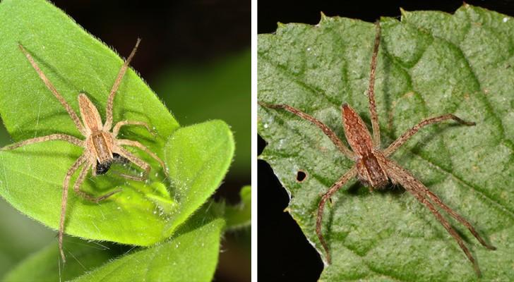 Certaines araignées mâles attachent les femelles avant l'accouplement pour éviter d'être mangées