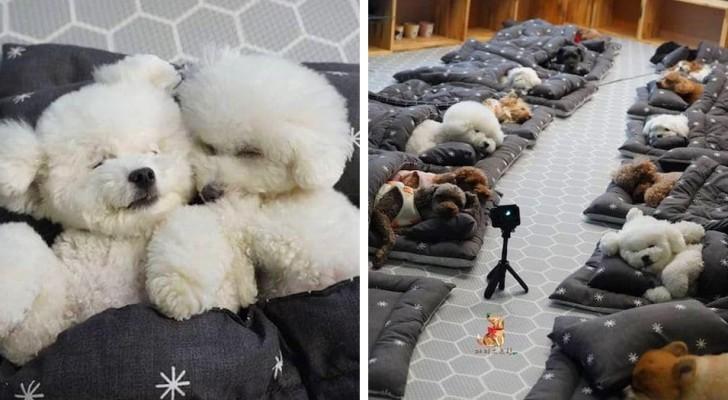 In deze hondenopvang doen puppy's hun middagdutje alsof ze op de kleuterschool zitten