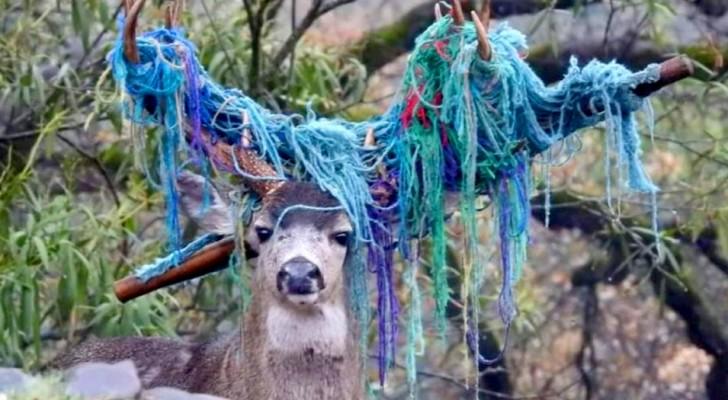 Een hert werd in een tuin gelokt en zijn gewei raakt verstrikt rond het touw van de hangmat