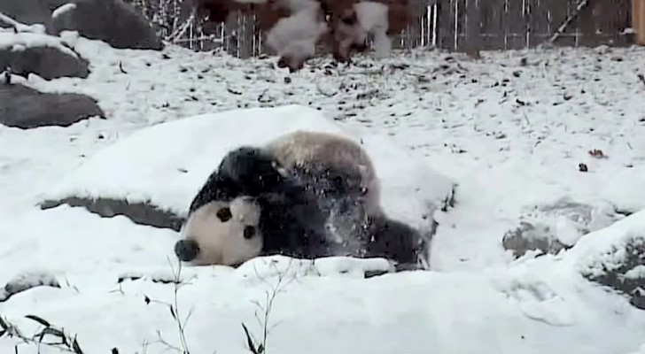 This giant panda finds everything covered in snow, his reaction is PRICELESS !